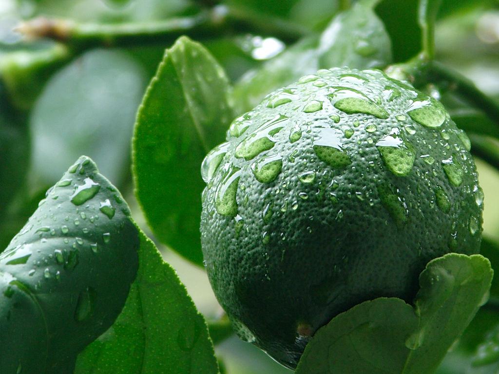 سيترس أورانتيفوليا - الليمون المكسيكي