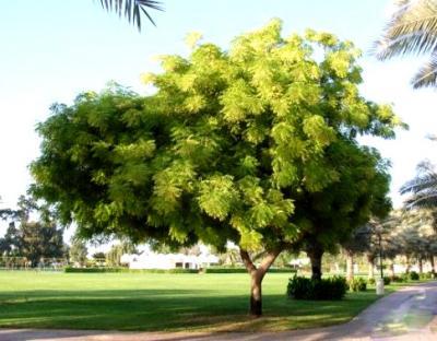 أزاديراكتا إنديكا - شجرة النيم